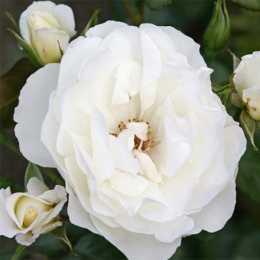 Роза 'Weisse Wolke'
