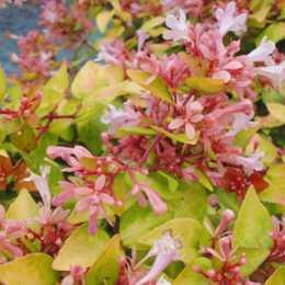 Абелия крупноцветковая 'Canyon Creek'