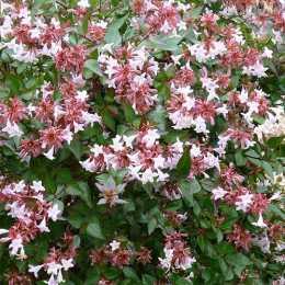 Абелия крупноцветковая 'Sherwood'