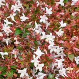 Абелия крупноцветковая 'Minaud' AUDEROSE