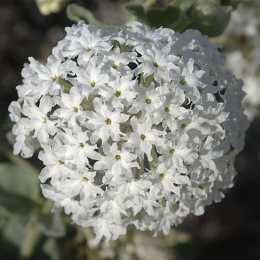 Аброния fragrans