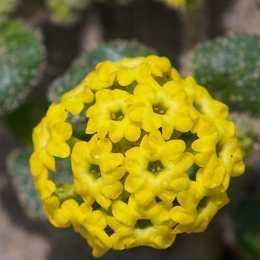Аброния latifolia
