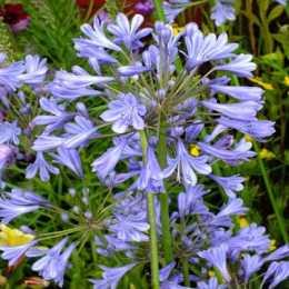 Агапантус 'Blue Umbrella'