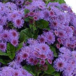 Агератум Гаустона 'AGUILERA™ Purple'