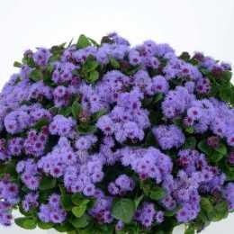 Агератум Гаустона 'AGUILERA™ Violet'