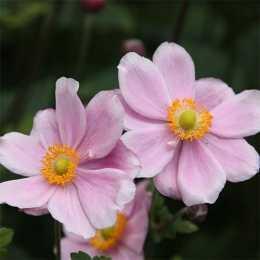 Анемона 'Mont Rose'