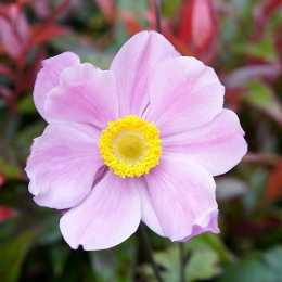 Анемона 'Pink Saucer'