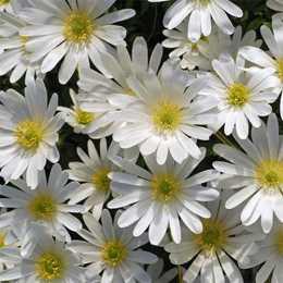 Анемона нежная 'White Splendour'