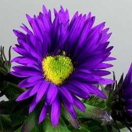 Астра новоанглийская 'Purple Dome'