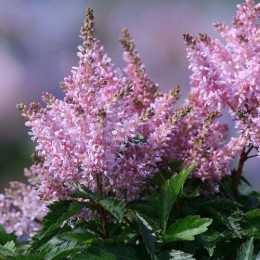 Астильба 'Sugarberry'