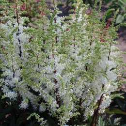 Астильба 'Whiteberry'