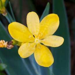 Беламканда китайская 'Hello Yellow'