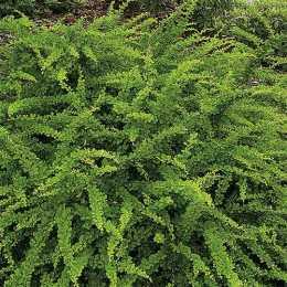 Барбарис Тунберга 'Green Carpet'