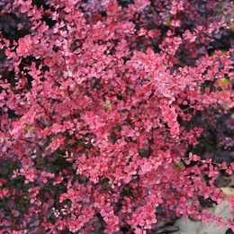 Барбарис Тунберга 'Pink Queen'