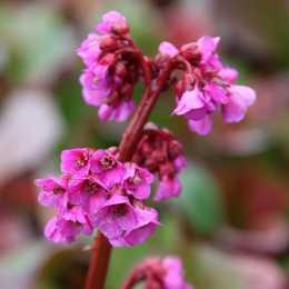 Бадан сердцелистный 'Purpurea'
