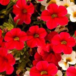 Калибрахоа Celebration® 'Capri Red'