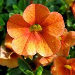 Калибрахоа Celebration® 'Mandarine'