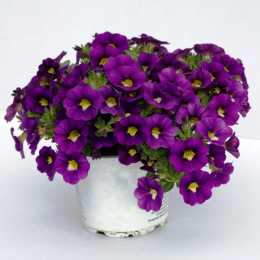 Калибрахоа Celebration® 'Velvet Blue'