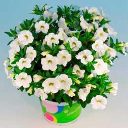 Калибрахоа Celebration® 'White Imp'