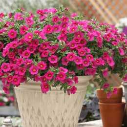 Калибрахоа Million Bells® Bouquet Brilliant Pink
