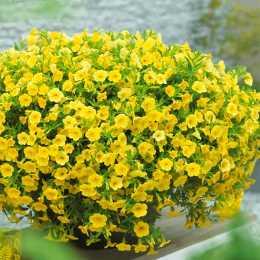 Калибрахоа Million Bells® Bouquet Gold