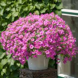 Калибрахоа Million Bells® Bouquet Pink