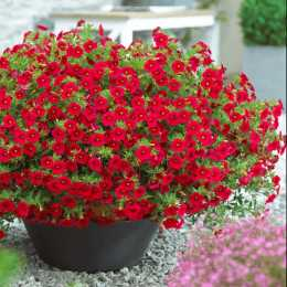 Калибрахоа Million Bells® Bouquet Red