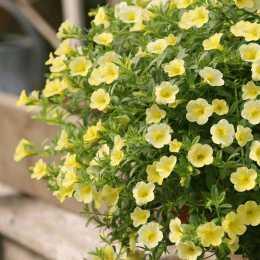 Калибрахоа Million Bells® Trailing Yellow