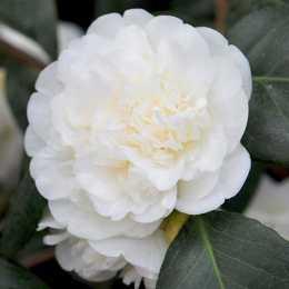 Камелия японская 'Nobilissima'