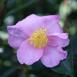 Камелия сасанква 'Plantation Pink'