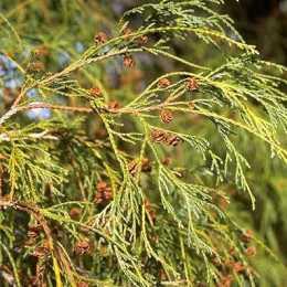 Кипарисовик горохоплодный 'Filifera'