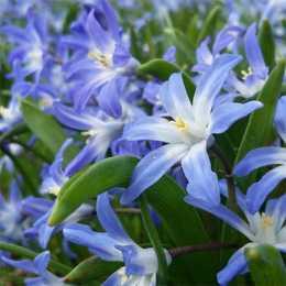Хионодокса Люцилии 'Blue'