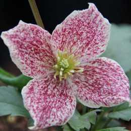 Клематис 'Freckles' (Вьющиеся растения)