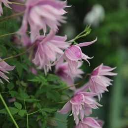 Клематис 'Markham's Pink'