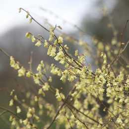 Корилопсис малоцветковый