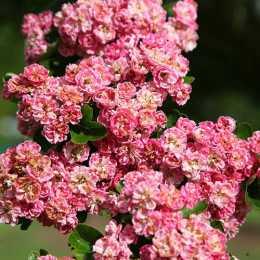 Боярышник обыкновенный 'Rosea Flore Pleno'