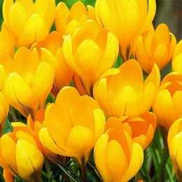 Крокус 'Grand Yellow'
