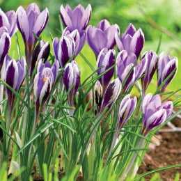 Крокус наименьший 'Spring Beauty'
