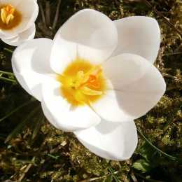 Крокус chrysanthus 'Snow Bunting'