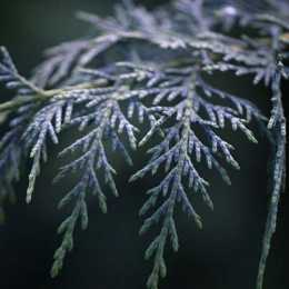 Купрессоципарис Лейланда 'Naylor's Blue'