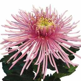 Хризантема 'Spider Pink'