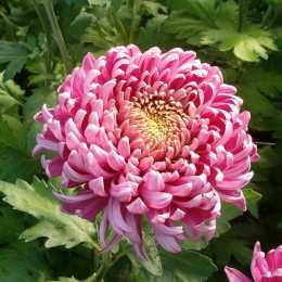 Дендрантема крупноцветковая 'Bislet'