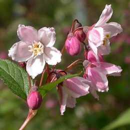 Дейция розовая 'Carminea'