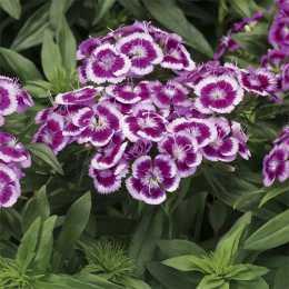 Гвоздика Barbarini™ 'Picotee Purple'
