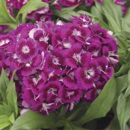 Гвоздика Barbarini™ 'Purple'