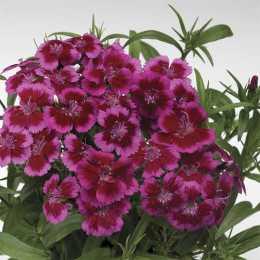 Гвоздика Barbarini™ 'Red-Rose Bicolor'