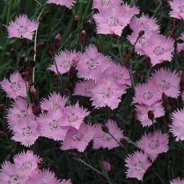 Гвоздика 'Bath's Pink'