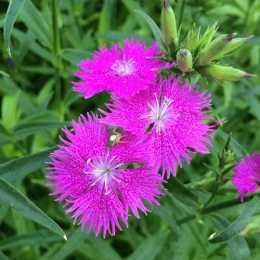 Гвоздика 'Bouquet Purple'