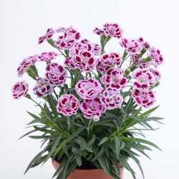 Гвоздика DELILAH™ Bicolor Purple