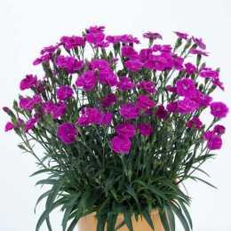 Гвоздика DELILAH™ Purple